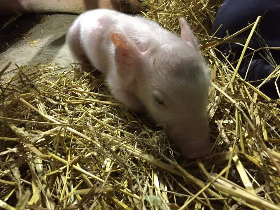 Les premiers cochons des Viandes Biologiques de Charlevoix découvrent leur nouvel environnement