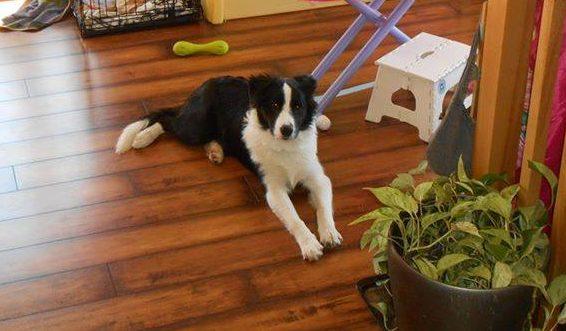 Le chien disparu revient…de Victoriaville