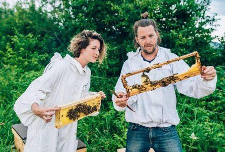 Près de 500 000 abeilles butineront au Massif de Charlevoix