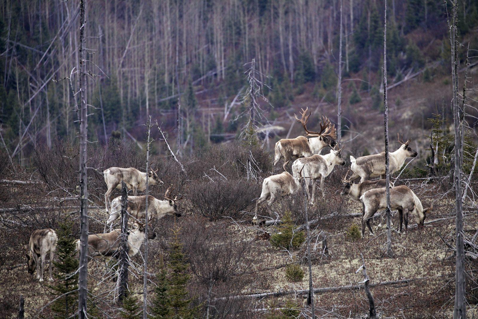 Adieux aux « rennes » de Charlevoix