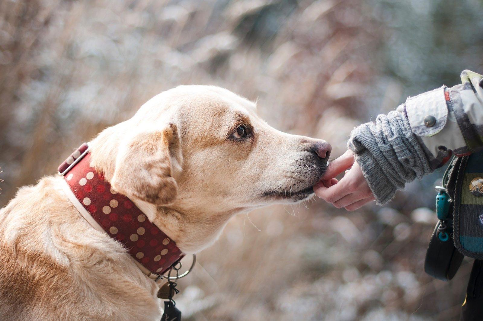 Médailles obligatoires pour mieux identifier les chiens dangereux