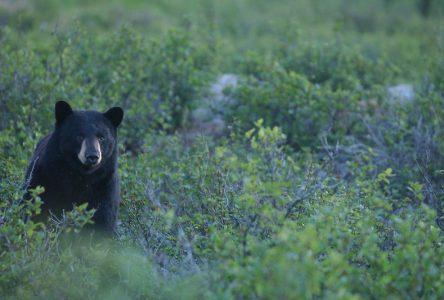 Un ours dans le Sentier de la forêt marine aux Éboulements